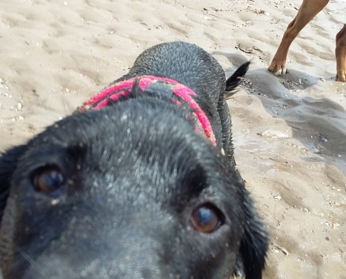 Dog walking service in Bideford, Dog walking in Barnstaple, Pet care and house sitting services. friendly, caring dog walking service for regular, occasional and one-off dog walks